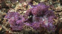 Juvenile Saddleback Clownfish (Saddleback Anemonefish), Amphiprion Polymnus, In Sebae Anemone, Heteractis Crispa