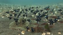 Saddleback Clownfish, Amphiprion Polymnus, And Domino Damsels (Threespot Dascyllus), Dascyllus Trimaculatus