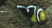 Saddleback Clownfish, Amphiprion Polymnus, Fights Domino Damsels (Threespot Dascyllus), Dascyllus Trimaculatus