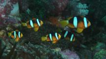 Clark's Anemonefish, Amphiprion Clarkii, Fight Over Sea Anemone