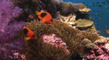 Pair Of Saddle Anemonefish (Red Saddleback Anemonefish), Amphiprion Ephippium, In Sea Anemone On Coral Reef