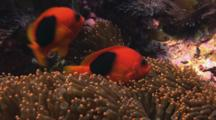 Pair Of Saddle Anemonefish (Red Saddleback Anemonefish), Amphiprion Ephippium, In Sea Anemone
