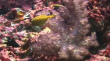 Juvenile Yellow Boxfish, Ostracion Cubicus, Swims Over Reef To Coral Grouper