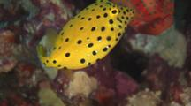 Juvenile Yellow Boxfish, Ostracion Cubicus, With Coral Grouper