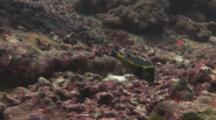 Whitespotted Boxfish (Spotted Boxfish), Ostracion Meleagris, Male