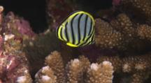 Juvenile Meyer's Butterflyfish (Scrawled Butterflyfish), Chaetodon Meyeri, In Cauliflower Coral