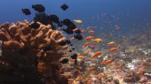 School Of Lyretail Anthias (Sea Goldie), Pseudanthias Squamipinnis, And Domino Damsels (Threespot Dascyllus), Dascyllus Trimaculatus, Over Cauliflower Coral