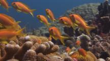 School Of Lyretail Anthias (Sea Goldie), Pseudanthias Squamipinnis, Over Cauliflower Coral