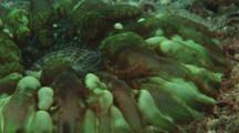 Pygmy Goby, Eviota Sp., On Button Coral, Cynarina Lacrymalis