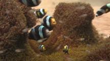 Saddleback Clownfish, Amphiprion Polymnus, And Cardinalfish On Sea Anemone