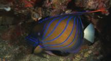Blue Ring Angelfish, Pomacanthus Annularis, At Night