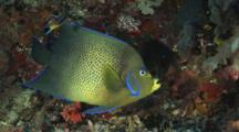 Semicircle Angelfish (Koran Angelfish), Pomacanthus Semicirculatus