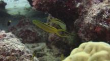 Pair Of Green Canary Blenny (Tonga Fangblenny), Meiacanthus Tongaensis