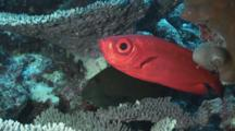 Crescent-Tail Bigeye (Moontail Bullseye), Priacanthus Hamrur, Retreats Into Reef