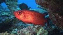 Crescent-Tail Bigeye (Moontail Bullseye), Priacanthus Hamrur, Shelters In Reef