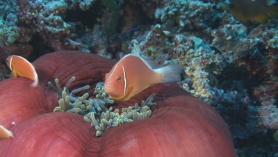 Pink Anemonefish (Pink Skunk Clownfish), Amphiprion Perideraion, Over Closed Red Anemone