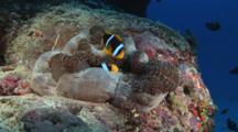 Pair Of Orange-Fin Anemonefish, Amphiprion Chrysopterus, In Merten's Carpet Anemone, Stichodactyla Mertensii