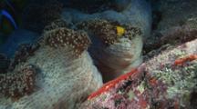 Orange-Fin Anemonefish (Amphiprion Chrysopterus) Eggs Under Merten's Carpet Anemone, Stichodactyla Mertensii