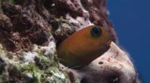 Bicolor Blenny, Ecsenius Midas, In Hole In Reef
