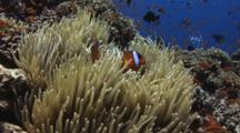 Pair Of Fiji Barberi Clownfish, Amphiprion Barberi, In Long-Tentacled Sea Anemone