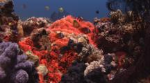 Fiji Barberi Clownfish, Amphiprion Barberi, In Fluorescent Red Bubble-Tip Anemone, Entacmaea Quadricolor, On Coral Reef