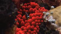 Juvenile Orange-Fin Anemonefish, Amphiprion Chrysopterus, In Fluorescent Red Bubble-Tip Anemone, Entacmaea Quadricolor
