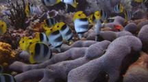 School Of Pacific Double-Saddle Butterflyfish, Chaetodon Ulietensis, Feeding On Hard Coral Reef