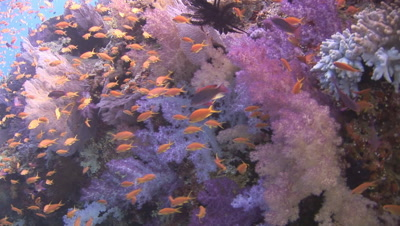 School Of Lyretail Anthias, Pseudanthias Squamipinnis, With Purple Dendronephthya Soft Corals (Carnation Coral)