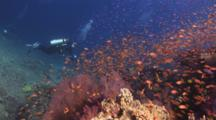 Scuba Diver Explores Pretty Coral Reef With Huge School Of Colorful Anthias