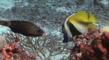 Masked Bannerfish, Heniochus Monoceros, Swimming Over Reef