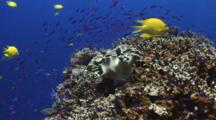 Golden Damels, Amblyglyphidodon Aureus, And School Of  Purple Anthias Over Coral Reef