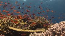 School Of Lyretail Anthias, Pseudanthias Squamipinnis, And Magenta Slender Anthias, Luzonichthys Waitei, Coral Reef