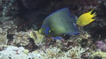 Semicircle Angelfish (Koran Angelfish), Pomacanthus Semicirculatus, Over Hard Coral Reef, With Golden Damsel