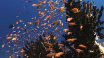 School Of Lyretail Anthias, Pseudanthias Squamipinnis, In Black Sun Coral, Tubastrea Micrantha