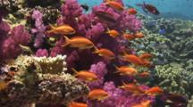 School Of Lyretail Anthias, Pseudanthias Squamipinnis, With Purple Dendronephthya Soft Coral (Carnation Coral)