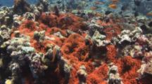 Fiji Barberi Clownfish, Amphiprion Barberi, In Huge Red Bubble-Tip Anemone, Entacmaea Quadricolor
