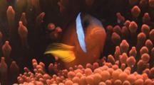 Fiji Barberi Clownfish, Amphiprion Barberi, In Red Bubble-Tip Anemone, Entacmaea Quadricolor