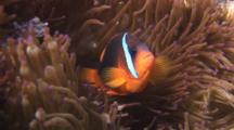 Fiji Barberi Clownfish, Amphiprion Barberi, In Sea Anemone
