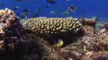 Orange-Fin Anemonefish, Amphiprion Chrysopterus, In Sea Anemone On Coral Reef
