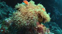Pink Anemonefish (Pink Skunk Clownfish), Amphiprion Perideraion, In Swaying Magnificent Sea Anemone, Heteractis Magnifica