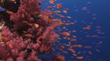 School Of Orange And Purple Anthias With Dendronephthya Soft Coral (Carnation Coral)