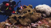 Scuba Diver (Underwater Photographer) Photographs Merten's Carpet Anemone, Stichodactyla Mertensii, With Orange-Fin Anemonefish, Amphiprion Chrysopterus, And Domino Damsels (Threespot Dascyllus), Dascyllus Trimaculatus