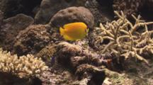 Lemonpeel Angelfish, Centropyge Flavissima, On Hard Coral Reef