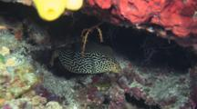 Female Reticulate Boxfish, Ostracion Solorensis, Hiding In The Reef