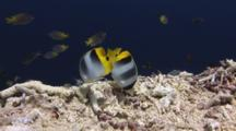 Pair Of Pacific Double-Saddle Butterflyfish, Chaetodon Ulietensis, Feeding On Coral Rubble