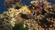 Orange-Fin Anemonefish, Amphiprion Chrysopterus, And School Of Magenta Slender Anthias In Merten's Carpet Anemone, Stichodactyla Mertensii, On Coral Reef