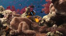 Lemonpeel Angelfish, Centropyge Flavissima, And Orange-Fin Anemonefish, Amphiprion Chrysopterus, In Merten's Carpet Anemone, Stichodactyla Mertensii, On Coral Reef