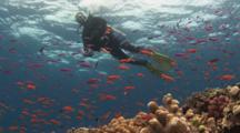 Scuba Diver On Safety Stop Below Surface With School Of Lyretail Anthias And Magenta Slender Anthias Over Coral Reef