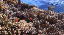 Lyretail Anthias, Pseudanthias Squamipinnis, On Coral Reef