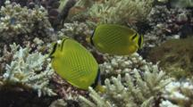 Pair Of Latticed Butterflyfish, Chaetodon Rafflesii, Feeding On Coral Reef